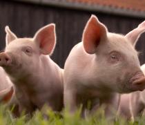 Строительство уникальной свинофермы